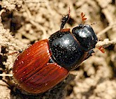 Adult Aphodius beetle. Picture from Wikipedia Commons