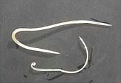 Adult Habronema worms. Image from Andrzej Polozowski taken from www.horsehints.org
