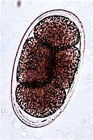 Egg of Mammonogamus spp. Picture from vetbook.org