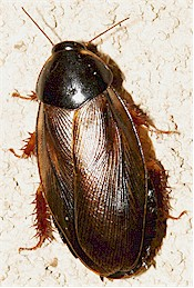 The Surinam cockroach, Pycnoscelus surinamensis. Picture from www.diertjevandedag.classy.be