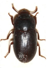 Alphitobius beetle, intermediate host of Subulura spp. Picture from Wikipedia Commons.