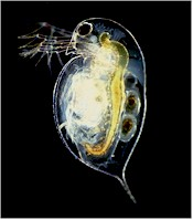 Water flea, intermediate host of Tetrameres fissispina. Picture from Wikipedia commons.