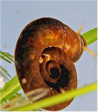 Planorbis snail, intermediate host of Alaria flukes. Picture from www.submers.org