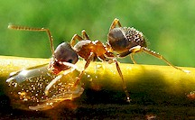 Ant of the genus Lasius, intermediatehost of Dicrocoelium. Picture from Wikipedia Commons