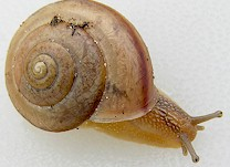 Snail of the genus Bradybaena. Picture from www.jaxshells.org.