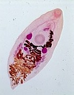 Adult Eurytrema pancreaticum. Picture from www.ym.edu.tw