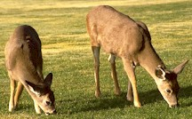Deer are the natural final hosts of Fascioloides magna