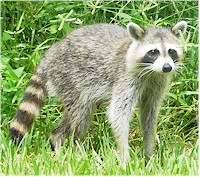 Raccoons are the main final hosts of Heterobilharzia americana. Picture fom Wikipedia Commons.
