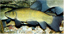 Tench (Tinca tinca) can be intermediate hosts of the cat liver fluke. Picture form Wikipedia Commons