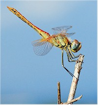 Dragonflies are intermediate hosts of Prosthogonimus flukes. Picture from Wikipedia commons.