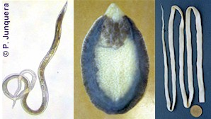 Parasites controlled by benzimidazoles. Left: roundworm. Center: liver fluke. Right: tapeworm